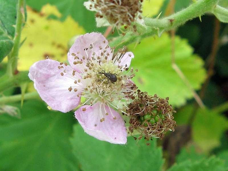 Himbeerblütenstecher (Strawberry Blossom Weevil, Anthonomus rubi); Foto: 12.07.2011, Düsseldorf-Kaiserswerth