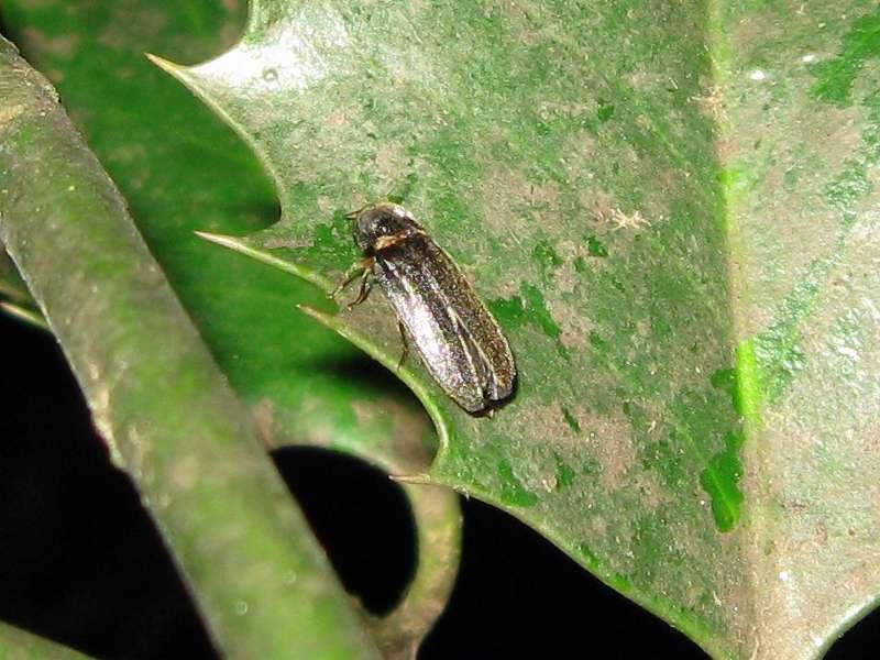 Männlicher Kleiner Leuchtkäfer (Firefly, Lamprohiza splendidula); Foto: 09.07.2011, Düsseldorf-Ludenberg