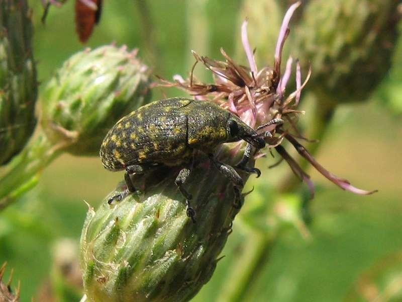 Kratzdistelrüssler (Thistle Bud Weevil,Larinus turbinatus); Foto: 04.07.2009, Erkrath-Reutersberg