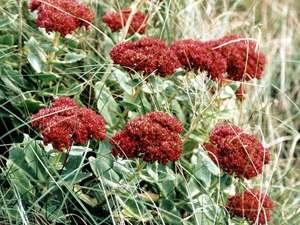 Große Fetthenne (Orphine, Sedum maximum); Foto: September 2001, Pirolatal