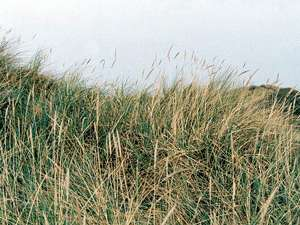 Strandhafer (European Beachgrass, Ammophila arenaria); Foto: September 2001, Dünen in der Nähe der Ortschaft