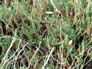 Schwarze Krähenbeere (Crowberry, Empetrum nigrum); Foto: September 2001, Pirolatal