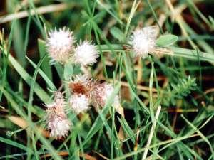Hasenklee (Rabbit-foot Clover, Trifolium arvense); Foto: September 2001, Pirolatal