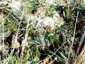 Silbergras (Grey Hair-grass, Corynephorus canescens); Foto: September 2001, Pirolatal