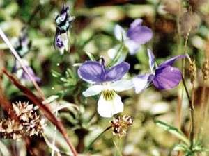 Wildes Stiefmütterchen (Wild Pansy, Viola tricolor); Foto: Mai 2002, Pirolatal