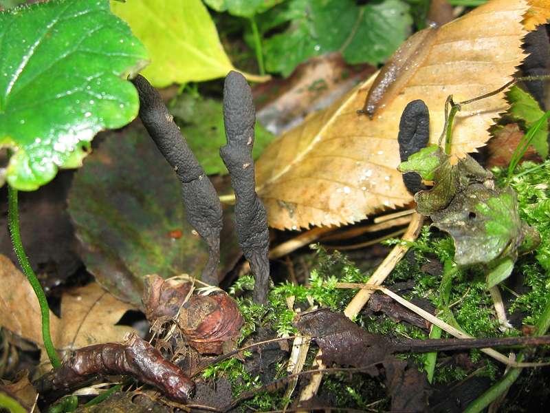 Langstielige Ahorn-Holzkeule (Dead Moll's Fingers, Xylaria longipes); Foto: 21.11.2009, Düsseldorf-Ludenberg