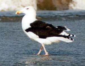 Mantelmöwe (Greater Black-backed Gull, Larus marinus); Foto: Oktober 2001, Strand in der Nähe der Ortschaft