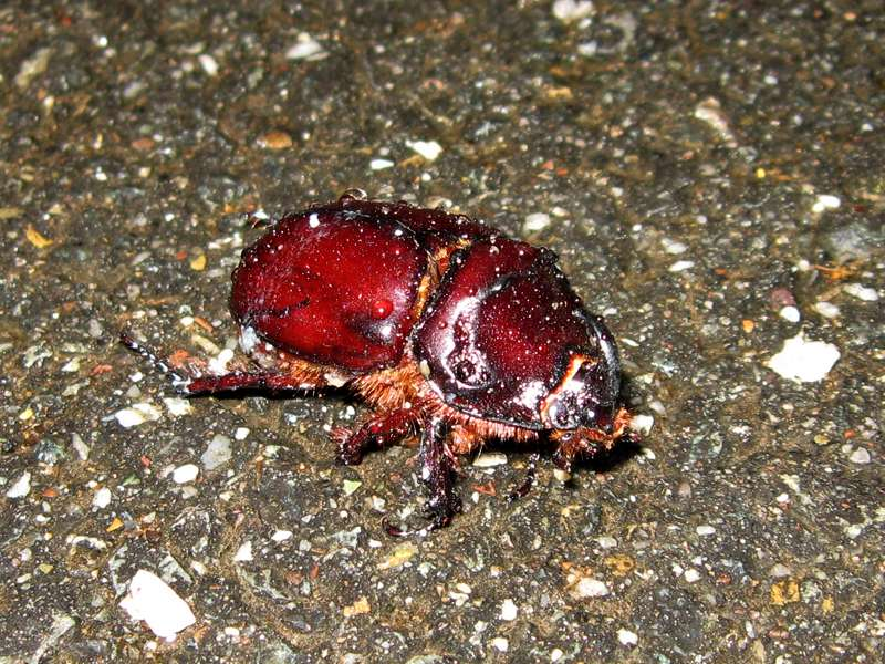 Männlicher Nashornkäfer (European Rhinoceros Beetle, Oryctes nasicornis), Totfund; Foto: 31.05.2011, Düsseldorf-Düsseltal