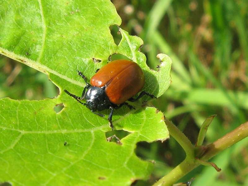 Pappelblattkäfer (Poplar Leaf Beetle, Chrysomela populi); Foto: 22.08.2009, Düsseldorf-Hubbelrath