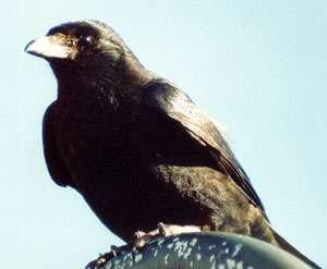 Rabenkrähe (Carrion Crow, Corvus corone); Foto: Oktober 2001, Rand der Ortschaft