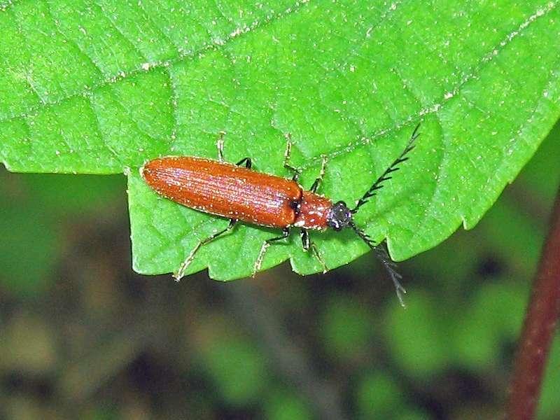Rotflügeliger Hakenhals-Schnellkäfer (Red tooth-collared Click Beetle,Denticollis rubens); Foto: 25.04.2009, Düsseldorf-Ludenberg