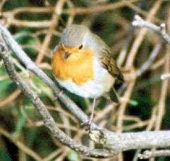 Rotkehlchen (European Robin, Erithacus rubecula); Foto: Oktober 2001, Ortschaft