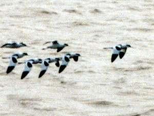 Säbelschnäbler (Pied Avocet, Recurvirostra avosetta); Foto: Oktober 2001, Meer zwischen Langeoog und dem Festland