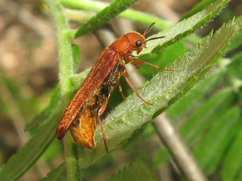 Weiblicher Sägehörniger Werftkäfer (Large Timberwood Beetle, Hylecoetus dermestoides); Foto: 10.04.2011, Düsseldorf-Ludenberg