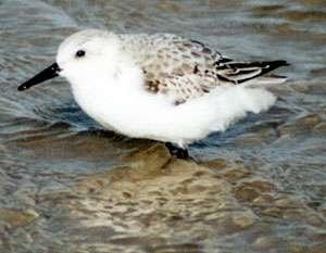 Sanderling im Schlichtkleid (Sanderling, Calidris alba); Foto: Oktober 2001, Strand in der Nähe der Ortschaft