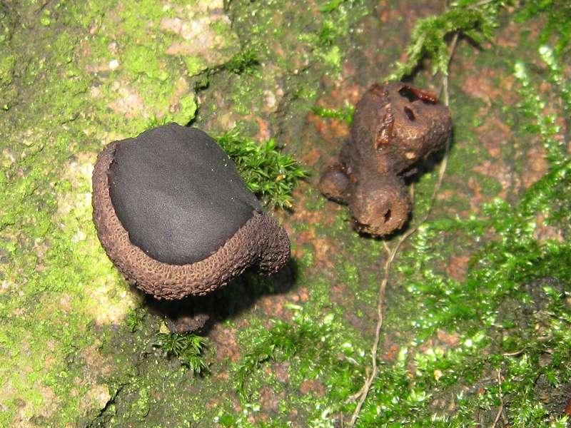 Gemeiner Schmutzbecherling (Black Bulgar, Bulgaria inquinans); Foto: 26.12.2009, Düsseldorf-Ludenberg
