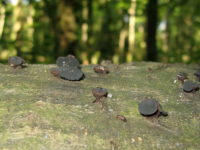 Gemeiner Schmutzbecherling (Black Bulgar, Bulgaria inquinans); Foto: 31.08.2008, Düsseldorf-Hassels