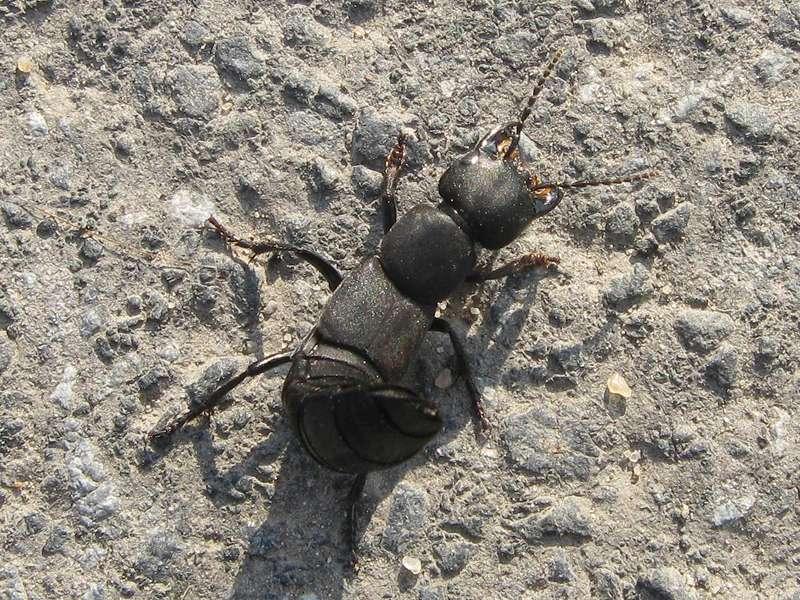Schwarzer Moderkäfer (Devil's Choach-horse Beetle, Ocypus olens); Foto: 24.09.2009, Düsseldorf-Ludenberg