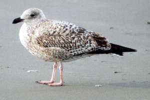 Juvenile Silbermöwe (Herring Gull, <em>Larus argentatus</em>); Foto: Oktober 2001, Stand in der Nähe der Ortschaft