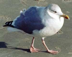 Adulte Silbermöwe (Herring Gull, Larus argentatus); Foto: Oktober 2001, Stand in der Nähe der Ortschaft