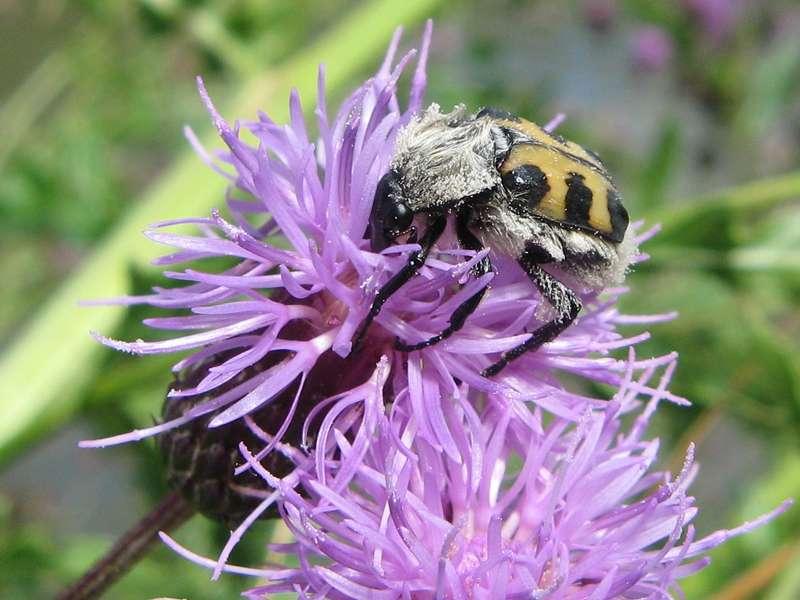 Trichius sp.; Foto: 13.07.2008, Düsseldorf-Düsseltal