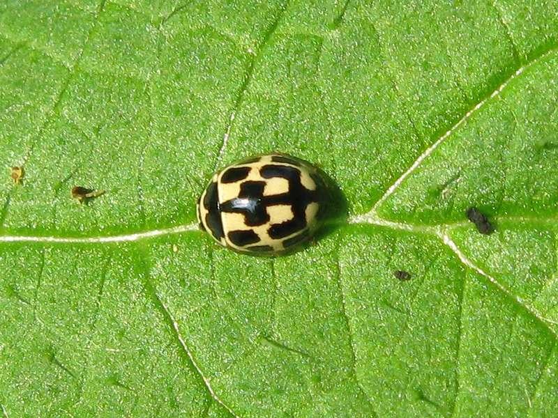Vierzehnpunkt-Marienkäfer (Fourteen-spotted Lady Beetle, Propylea quatuordecimpunctata); Foto: 09.05.2010, Düsseldorf-Düsseltal