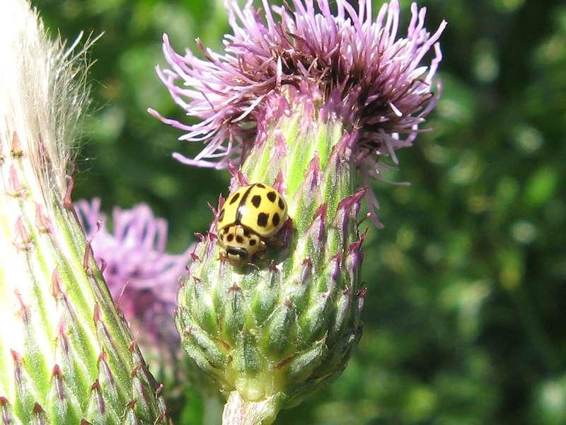 Vierzehnpunkt-Marienkäfer (Fourteen-spotted Lady Beetle, <em>Propylea quatuordecimpunctata</em>), überwiegend gelbe Farbvariante; Foto: 23.06.2011, Düsseldorf-Düsseltal