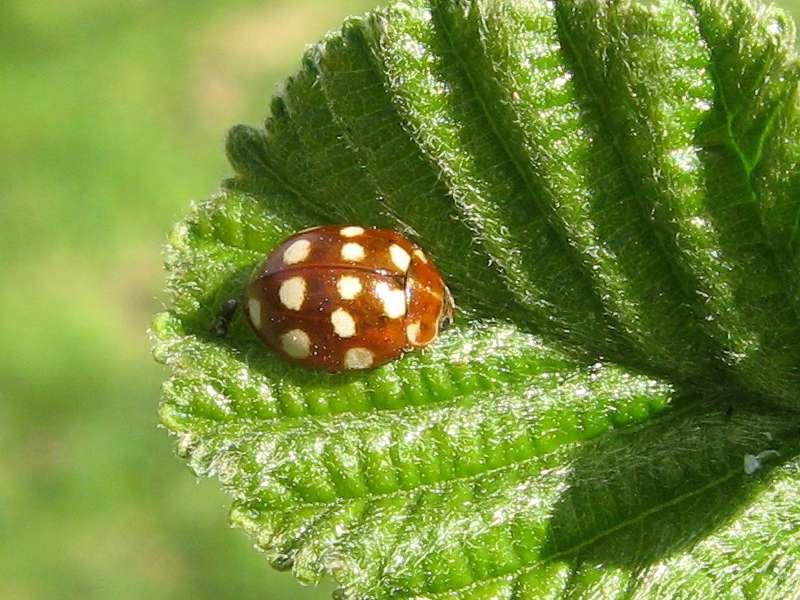 Vierzehntropfiger Marienkäfer (Cream-spotted Lady Beetle, Calvia quatuordecimguttata); Foto: 25.04.2010, Düsseldorf-Ludenberg