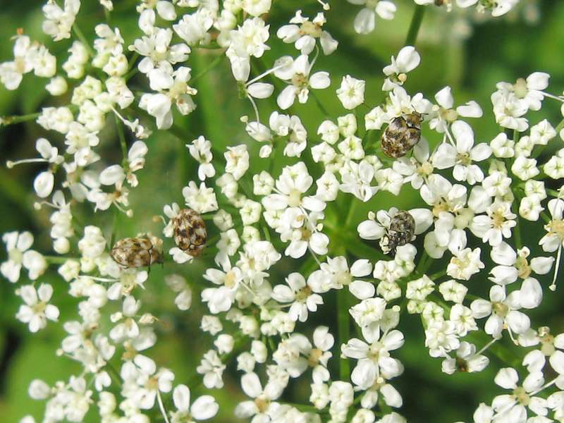 Wollkrautblütenkäfer (Varied Carpet Beetle, Anthrenus verbasci); Foto: 14.06.2009, Düsseldorf-Düsseltal