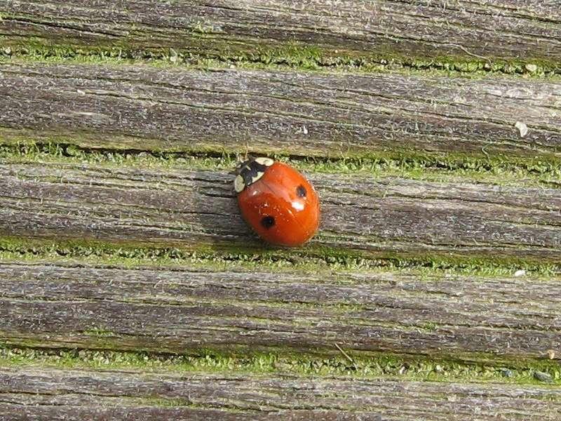 Zweipunkt-Marienkäfer (Two-spotted Lady Beetle, Adalia bipunctata); Foto: 14.03.2009, Düsseldorf-Grafenberg