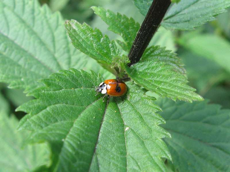 Zweipunkt-Marienkäfer (Two-spotted Lady Beetle, Adalia bipunctata); Foto: 23.06.2011, Düsseldorf-Düsseltal
