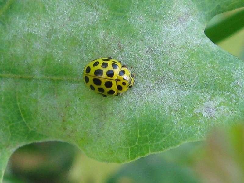 Zweiundzwanzigpunkt-Marienkäfer (22-spot Ladybird, Psyllobora vigintiduopunctata); Foto: 18.07.2010, Düsseldorf-Ludenberg