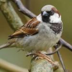 Sperlinge (Sparrows, Passeridae)