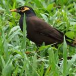 Stare (Starlings, Sturnidae)