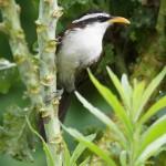 Timalien (Old world babblers, Timaliidae)