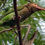 Tukane (Toucans, Ramphastidae)
