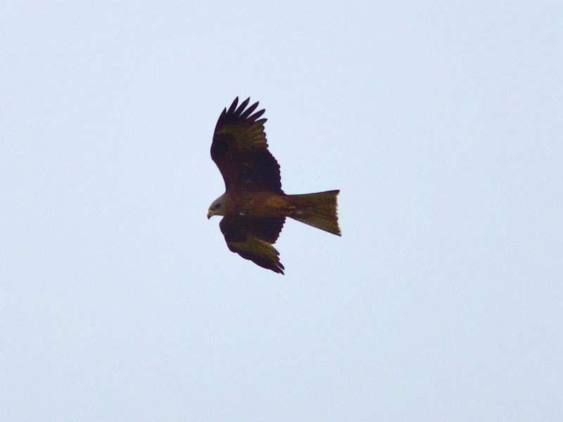 Rotmilan (Milvus milvus) im Naturschutzgebiet Bislicher Insel; Foto: 29.04.2016, Xanten