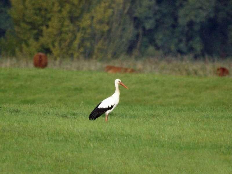 Weißstorch (Ciconia ciconia) im Naturschutzgebiet Bislicher Insel; Foto: 12.09.2009, Xanten