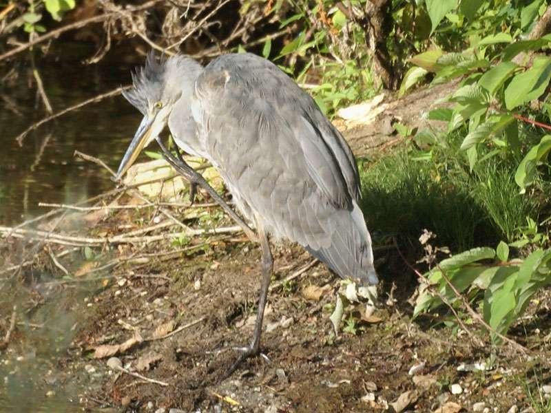 Graureiher (Ardea cinerea cinerea) im Naturschutzgebiet Bislicher Insel; Foto: 12.09.2009, Xanten