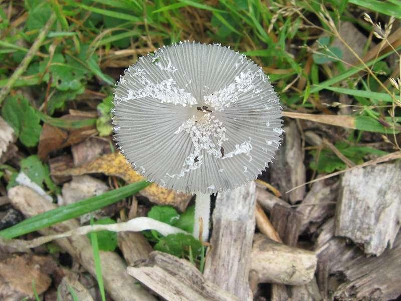 Unbestimmter Pilz (Coprinus sp.) im Naturschutzgebiet Bislicher Insel; Foto: 12.09.2009, Xanten