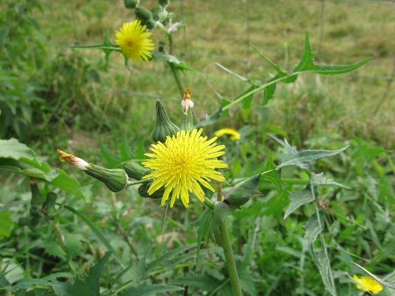 Kohl-Gänsedistel (Sonchus oleraceus) im Naturschutzgebiet Bislicher Insel; Foto: 12.09.2009, Xanten