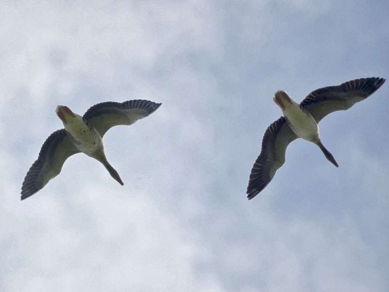 Graugänse (Anser anser) im Flug im Naturschutzgebiet Bislicher Insel; Foto: 12.09.2009, Xanten