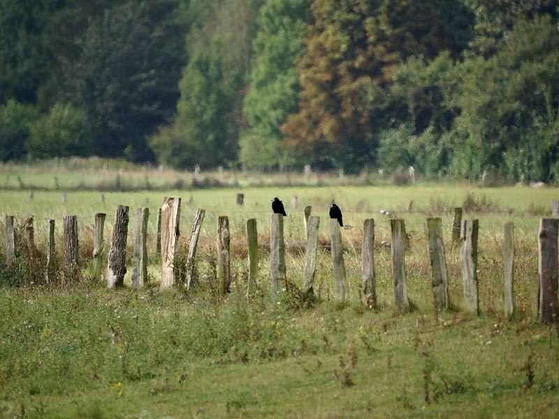 Auf den Zaunpfeilern im Naturschutzgebiet Bislicher Insel sitzen oft Vögel wie diese Saatkrähen (Corvus frugilegus); Foto: 12.09.2009, Xanten