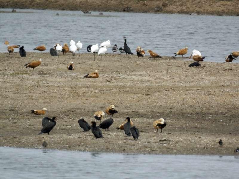 Wasservogelgemeinschaft an einer Flutmulde im Naturschutzgebiet Bislicher Insel; Foto: 12.09.2009, Xanten