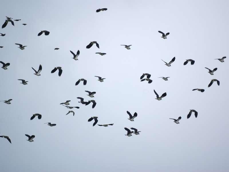 Kiebitz-Schwarm (Vanellus vanellus) im Naturschutzgebiet Bislicher Insel; Foto: 12.09.2009, Xanten
