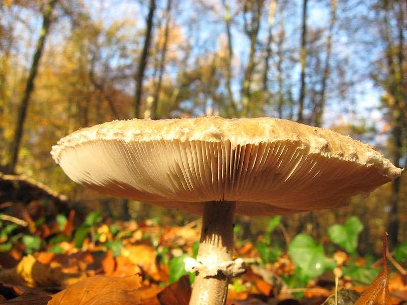 Parasol (Macrolepiota procera) im Elmpter Schwalmbruch; Foto: 08.11.2009, Niederkrüchten