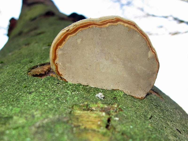 Unbestimmte Pilzart Nr. 1 aus dem Elmpter Schwalmbruch; Foto: 08.11.2009, Niederkrüchten