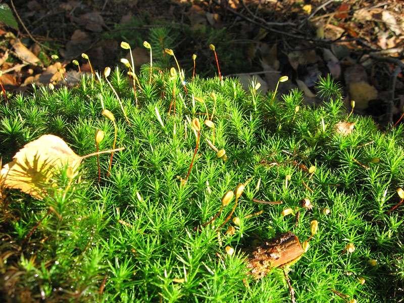Wald-Frauenhaarmoos (Polytrichum formosum) im Elmpter Schwalmbruch; Foto: 08.11.2009, Niederkrüchten