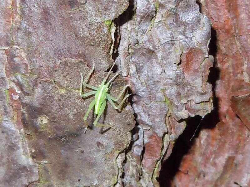Junge männliche Gemeine Eichenschrecke (Meconema thalassinum) im Elmpter Schwalmbruch; Foto: 20.06.2010, Niederkrüchten