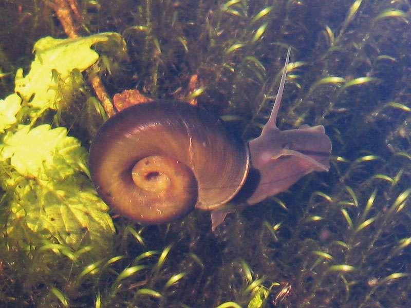 Posthornschnecke (Planorbarius corneus) im Elmpter Schwalmbruch; Foto: 08.11.2009, Niederkrüchten